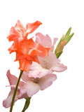 Flowers gladioluses. On a white background Royalty Free Stock Photography
