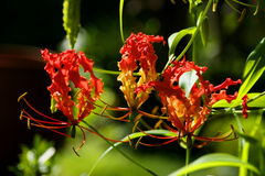 Flowers gloriosa in the Seychelles. Royalty Free Stock Photos