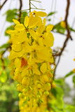 Flowers. Golden shower  is beautiful natural Stock Image