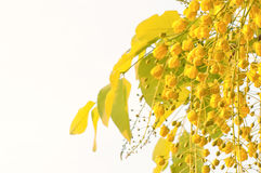 Flowers of golden shower tree Stock Photo