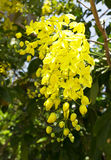 Flowers of Golden Shower Tree bloom in summer Royalty Free Stock Photos