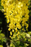 Flowers of the golden shower tree Stock Photography