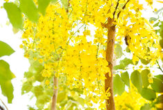 Flowers of golden shower tree Royalty Free Stock Image