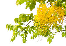 Flowers of golden shower tree Royalty Free Stock Photo