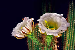 Flowers of the Golden Torch Cactus Royalty Free Stock Photography