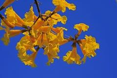 FLOWERS ON GOLDEN TRUMPET TREE Stock Image