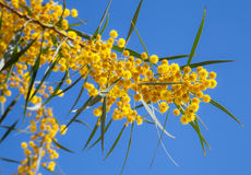Flowers of Golden wattle. Acacia pycnantha Royalty Free Stock Image