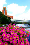 Flowers on the Grand River. With the Accident Fund building in the background royalty free stock image