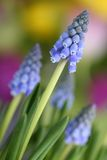 Flowers (grape hyacinth, Muscari botryoides) Stock Images