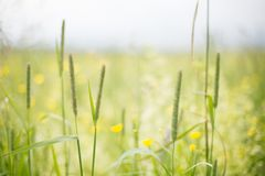 Flowers and grass background. Bright yellow buttercups and greenery. Summer field.  royalty free stock photography