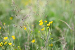 Flowers and grass background. Brightful yellow buttercups and greenery. Summer field.  stock photo