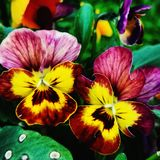 Colorful pansies , green leaves stock photo