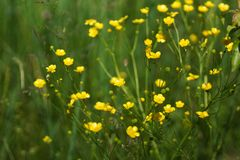 Flowers and grass lit by warm sunlit on a summer meadow, abstract natural backgrounds for your design. Meadow yellow buttercups Stock Image