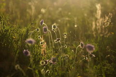 Flowers and grass lit by warm sunlit on a summer meadow, abstract natural backgrounds for your design.  Royalty Free Stock Images