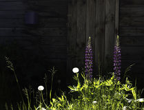 Flowers in grass. Sunlit flowers in grass  on background of old wooden barn Stock Photos