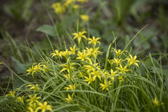 Flowers in the grass. Yellow flowers Stock Photo
