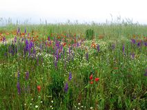 Flowers grassland. Colored flowers Stock Images