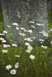 Flowers on grave. Daisies - flowers in graveyard - berrynarbor devon Stock Photos
