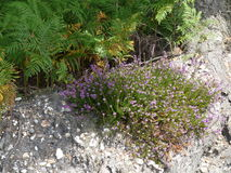 Flowers on the gravel. Purple flowers  on a gravel mound Stock Photos