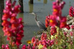 Flowers and Great Blue Heron Royalty Free Stock Image