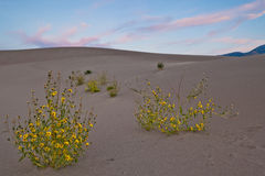 Flowers in the Great Sand Dunes National Park Royalty Free Stock Photo
