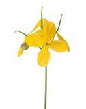 Flowers of Greater celandine Chelidonium isolated on white background Royalty Free Stock Image