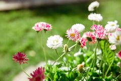 Flowers on a green background. small sunny flowers petals Stock Photo