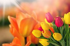 Fresh tulip flowers on blurred background Stock Images