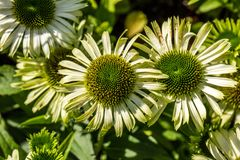 Flowers of green coneflowers blooming in perennial garden for flora Royalty Free Stock Images