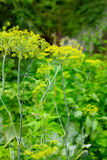 Flowers of green dill arter rain. Flowers of green dill in the garden after rain Stock Photography