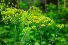 Flowers of green dill. In the garden after rain Stock Photography