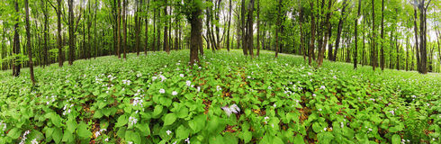Flowers on green forest - 360 panorama Royalty Free Stock Images