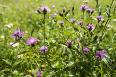 Flowers. Green grass and violet little flowers Royalty Free Stock Photography