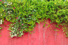 Flowers & green ivy plant on old colored concrete wall Stock Images