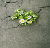 Flowers with green leaves coming out from concrete cracks Royalty Free Stock Photos