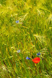 Flowers in green meadow. Scenic view of red and blue flowers in meadow of long green grass Royalty Free Stock Photography