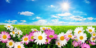 Flowers, green meadow and blue sky with the sun Royalty Free Stock Photo