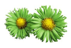 Flowers of green-yellow  daisies on white isolated background. Two chamomiles for design. View from above. Close-up. Nature Royalty Free Stock Image