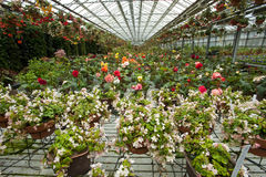 Flowers in greenhouse. A greenhouse full of blooming flowers Stock Photos