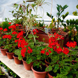 The flowers in the greenhouse. Greenhouse with blooming red geranium plats royalty free stock images