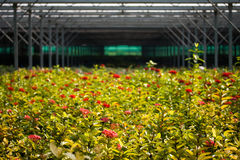 Flowers in a greenhouse Stock Photos