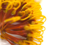 Flowers of Grevillea robusta Royalty Free Stock Image