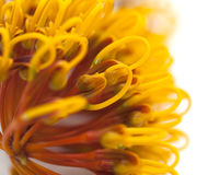 Flowers of Grevillea robusta Stock Photo