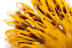 Flowers of Grevillea robusta Stock Photography