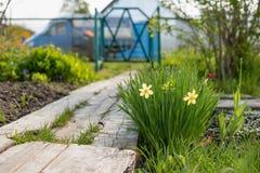 White daffodil flower in the garden stock photos