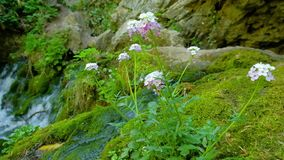 Flowers grow on a stone surrounded by green moss on a background of streams. Of mountain waterfall stock footage