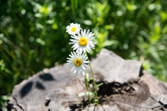 Flowers grow on stump Royalty Free Stock Photo