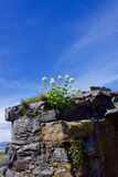 Flowers growing in Castle walls Royalty Free Stock Photos
