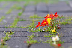 Flowers growing through concrete. Small colorful flowers growing through concrete Stock Photos