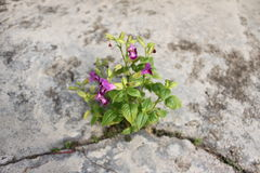 Flowers. Growing for cracked floor Royalty Free Stock Images